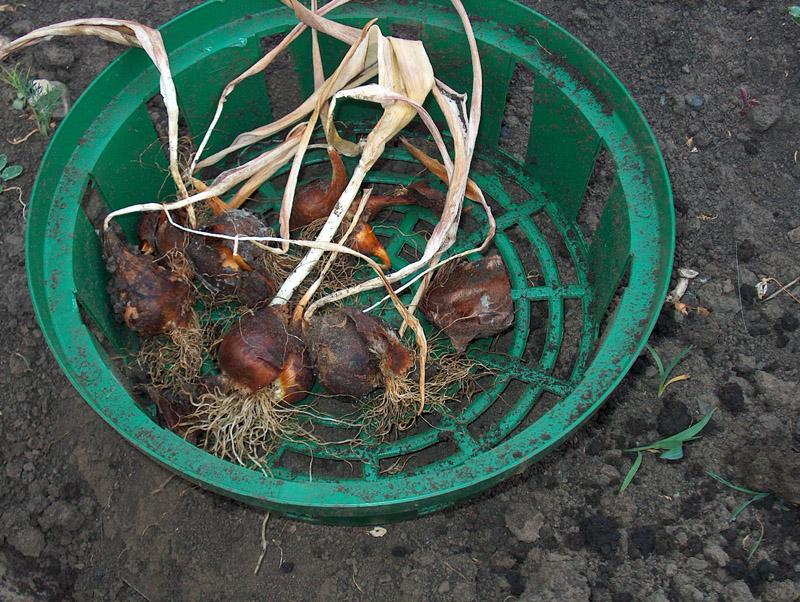 Луковицы многолетников цветов при подготовке к зиме удаляются из земли