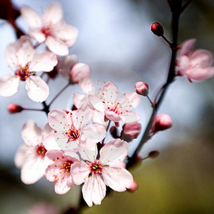 Омоложение плодового дерева