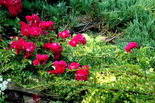 Озеленение участка стелющимися розами
